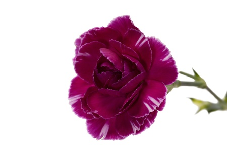 Image of a purple carnation flower isolated on a white background Stock Photo