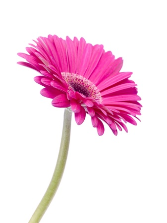 pink daisy: Close-up portrait of a bright pink daisy isolated on a white background Stock Photo
