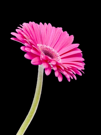 pink daisy: A portrait image of gerbera pink daisy isolated on dark background