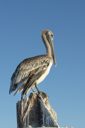 Close-up image of a pelican bird in Dry Tortugas National Park Banco de Imagens