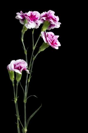 Portrait of pink carnation standing on the dark background Imagens
