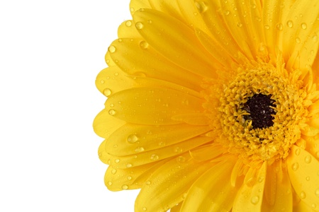 Wet yellow daisy with dark pollen grains photo