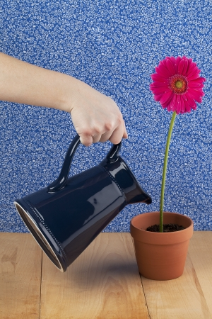 Close-up shot of a human hand watering a flower pot of pink daisy flower. photo