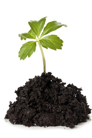 growing plant: Close-up image of a soil with a growing plant against the white background Stock Photo