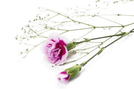 Image of a pink carnation flower lying on a white background