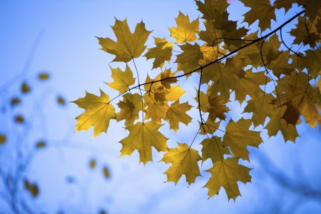Image of maple leaves against clear sky. Stock Photo - 17302212