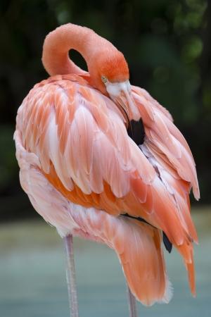 flamenco ave: Americano flamenco rascarse la espalda sobre un fondo naturaleza