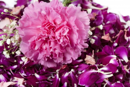 Horizontal image of beautiful pink carnation on the top of purple flower petals