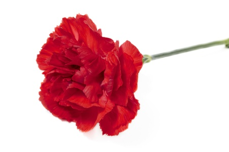Close up image red carnation against white background