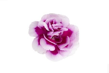 Close-up image of the head of pink carnation flower over the white background