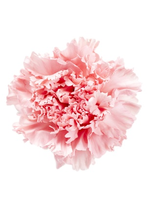 Macro shot of the pink carnation flower isolated on a white background