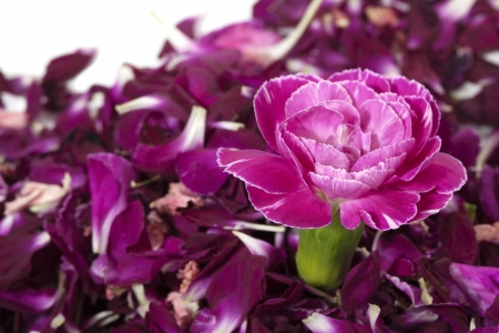 Image of pink carnation isolated over the purple flower petals on a white background
