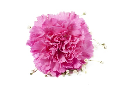 Close-up image of pink carnations head lying on a white background