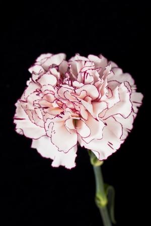 Portrait of pink carnation on dark background Stock Photo