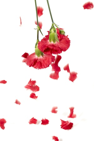 Red carnation and falling petals against white background