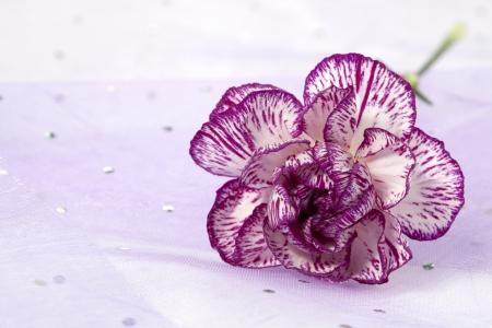 Close up image of violet carnation flower