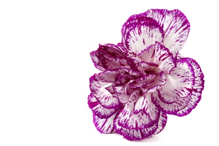 Image of a white and purple color of the head of the carnation flower