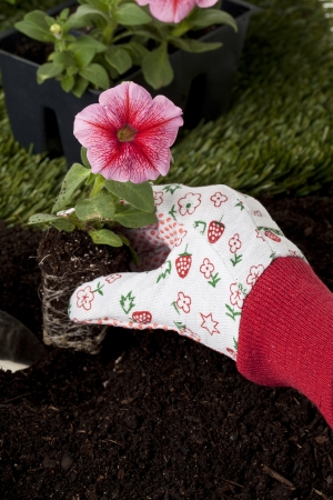 Gardener's hand transferring a pink petunia flower on the backyard Stock Photo - 17325107