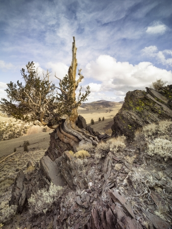 Our planets oldest living organisms, White Mountains, California, USA photo