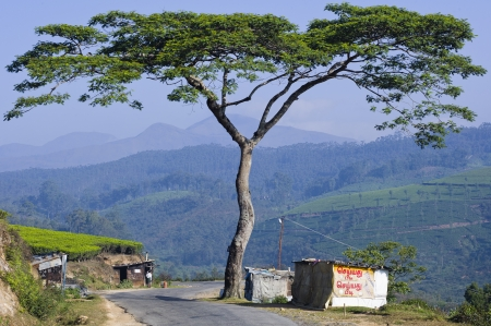 A large tree stands next to a mountain road in India