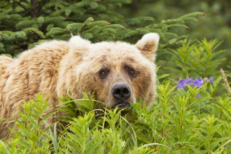 A brown bear looks straight into the camera
