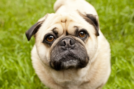 curiously: A Pug curiously looking at you. Stock Photo