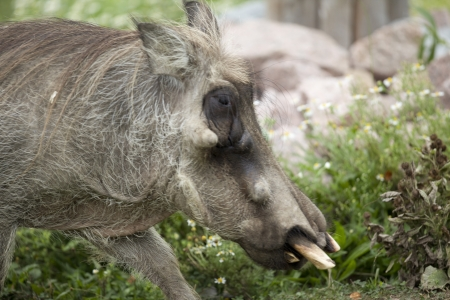 Warthog is considered one of the wild sub species of the pig family.  It has a pair of upper and lower tusk for defense. Stock Photo - 17339473