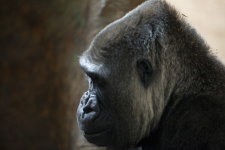 Side view of an adult ape in a zoo. Stock Photo - 17339348