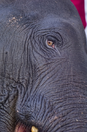A close-up shot of an elephants eye in Kodanad, India.