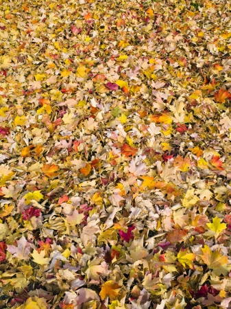 bunched: Faded maple leafs bunched on the ground Stock Photo