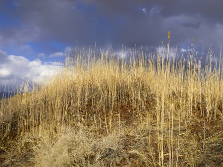 Dead and long desert grass against a blue background. Stock Photo - 17339298