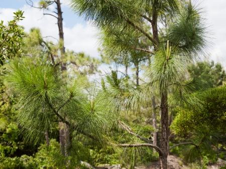 japenese: Un �rbol con agujas finas, pino blandos situados en un jard�n llamado Japenese Morikami en Florida, EE.UU.. Foto de archivo