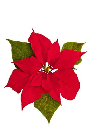 Isolated poinsettia against a white background with green leaves.
