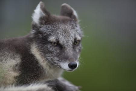 Arctic Fox looking anxious at an intruder.