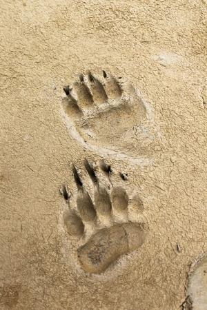약간 축축한 진흙에 남아있는 곰 인쇄