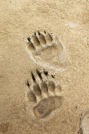 animal tracks: Bear prints left in some moist mud Stock Photo