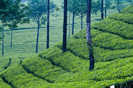 Rolling tea plants in Munnar, India photo
