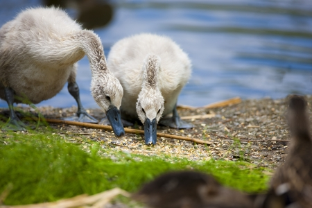 Two baby swans sharing a lunch together.