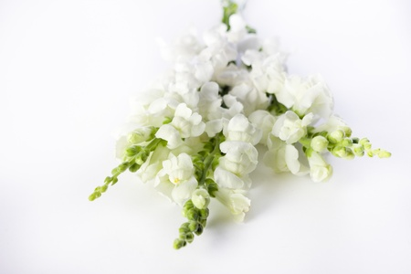 bunched: A few white dragonflowers bunched together on a white surface. Stock Photo