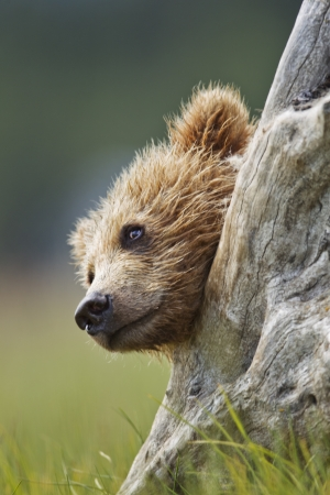 A brown bear cub peeks out from behind a dead tree stump