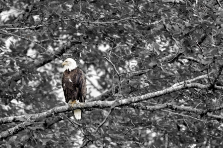 Image of a bald eagle sitting on a branch of a tree  photo