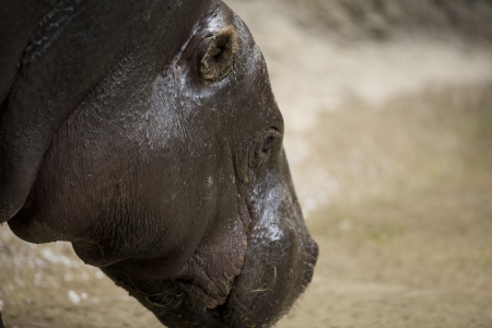 Hippopotamus head photographed up close showing layers of fat around neck Stock Photo - 17359896