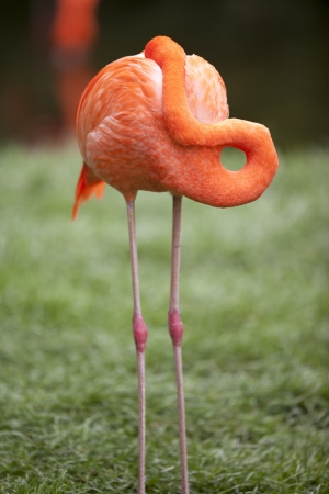 Colourful Flamingo maintaining its beauty by grooming using its beak. Stock Photo - 17353839