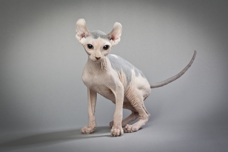A hairless cat standing on a white background                                                          Elf Cat and Sphynx Breeders : HOUSE OF Q  www.elfcatsincanada.com