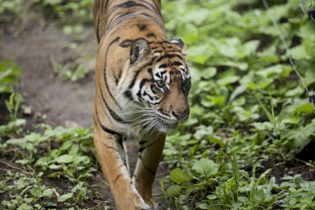 Tiger surveying area for prey. Stock Photo