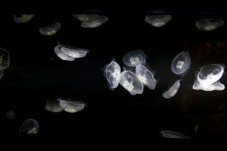 toxin: Jellyfish has four circular oral arms that contains toxin with about 70 species that are harmful to human.