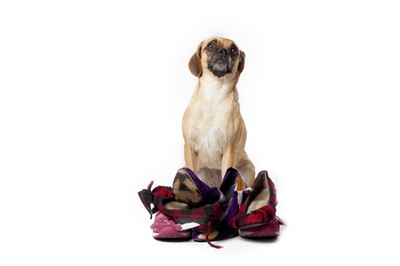 A naughty puggle standing behind a pile of shoes he just tore up.