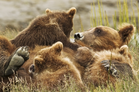 Three bear cubs climb on their mother