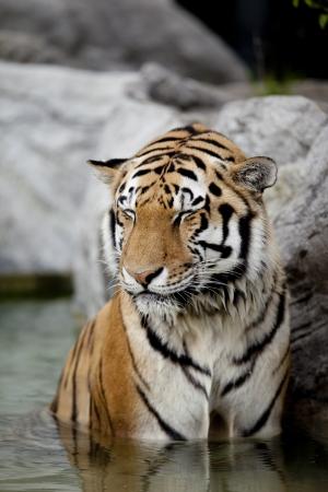 Tiger enjoying a refreshing water bath. Archivio Fotografico