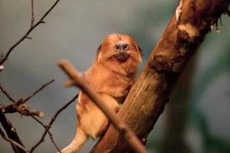 continente americano: Golden Lion Tamarin es un primate tropical en el continente americano que habita en las ramas de los �rboles. Foto de archivo